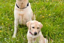 Vakvezető kutyák / Képek és hírek a vakvezető kutyák életéből