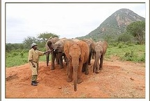 The DSWT // Ithumba Orphans / Once orphans are old enough, they are then moved to one of the two reintegration centres. Here they stay in communal stockades and enjoy reduced keeper contact until they eventually return to the wild / by David Sheldrick Wildlife Trust