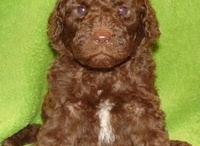 Chocolate Labradoodles / Pictures of Chocolate Labradoodles and Australian Labradoodles