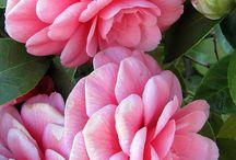 Camellia - (kamélie) - vyš. klas. Čajovníkovité