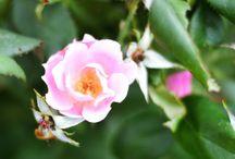 Gardening- Roses