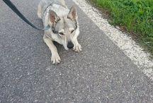 Cane Lupo Cecoslovacco / la mia lupa Koda