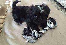 Shis tzu / Puppy Micka vanaf 7 weken
