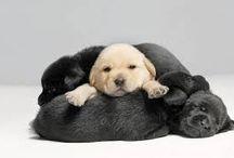 Cuccioli di labrador :)