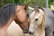 Horses / Lovak#arabien#akhal-teke