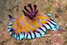 Nudibranch / Nudies of the world