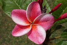 My plumeria photos / Photos of my personal plumeria/frangipani collection grown in Arizona.