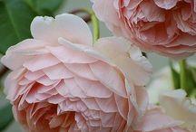 Angol rózsák