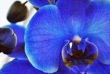 Orchids / My favorite flowers are orchids. I love them, especially the liliac and blue ones.