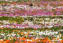 Cape Wildflowers, Birding  &  Big Game I  / Our Cape Wildflowers, Birding & Big Game safari is scheduled to take in the very best of the fairest Cape, at a time when the Cape Fynbos biome and Namaqualand spring flowers are at their peak. View the finest wildflower and endemic birding that the African continent has to offer!