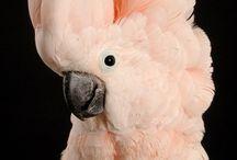 Molkucan cockatoo