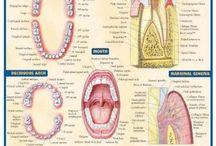 dental hygienist.