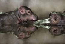 Hippos! / by Margaret Wilde
