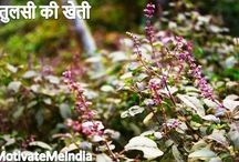 How To Farming Tulsi and Earn Handsome Income