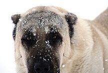 Turkish dog -Kangal