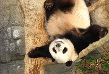 panda mackó