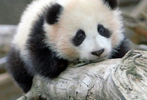 My mild obsession with pandas :D