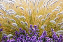 Pennisetum & aster  Ornamental grasses