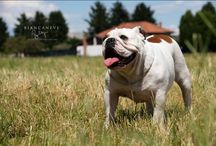 Bulldog inglese / I miei bimbulli