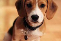 Perros Beagles