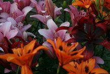 Liljoja / Omalta pihalta kuvattuja  http://mustavalkoistamenoa.blogspot.fi/