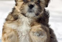 Lhasa apsos / Cutest dogs