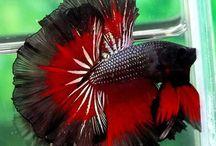 Betta peixes reluzentes