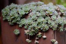 a fleshy plant