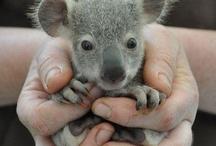 Koalas ^^