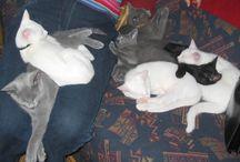 Yaron (Russian Blue Cat) / In 2004 werd hij geboren: onze Russisch Blauw-kater Yaron!