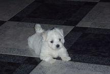 Pies maltańczyk