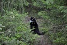 Svante, the black cat, Sir Applemore / Our darling cat who passed away 15.4.2016. Svante was great hunter and best cat man could ever have.