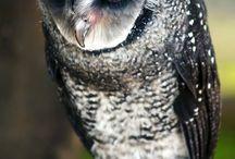 REF: Owls