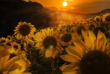 my sunflowers / my favorite flower cause they remind me of happiness,joy and  beautiful things........they remind me of my grand_children
