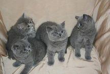 Brit blue cats