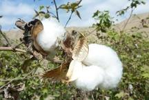 Cotton Tanguïs