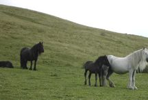 Fell Ponies / I love fell ponies, I have one and my brother and his family have the Bracklinn stud.