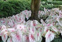 calandium maria bonita varias cores