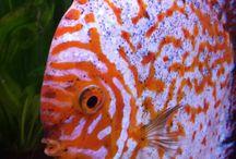 Discus / ryby tropikalne i akwarystyka