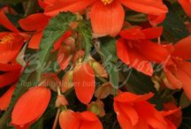 Summer Flowering Bulbs - Begonias / Begonias can brighten up your garden with their vivid colours. A single tuber can produce an abundance of flowers. The cascade begonias are ideal for pots and hanging baskets.