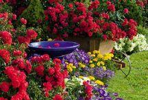 Сад розы