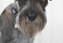 Doggy style / schnauzer