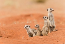 Meerkats at Tswalu / Tswalu has a colony of habituated meerkats which means that guests can get up close to observe their daily activities without fear of frightening them away