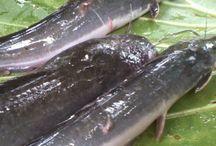 Jenis Penyakit Ikan Lele