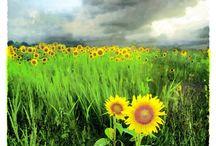 Sunflowers / by Rene Stokesberry