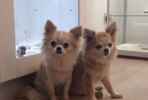Eddie & Monty / Introducing Eddie & Monty our chihuahua Christmas helpers! Enjoy!
