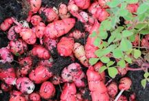 Perennial Vegetables from Fuglebjerggaard / We grow, and sell a large number of edible perennials, soft fruit, flowers, tubers,and  roots,  at our Orgaanic farm and Nursery.many are available both as seeds and live plants.many vegetables have a perennilal ancestry, that will com through if you grow them as perennials. Perennial vegetables are  pefect for the busy gardener, as you will not have to resow every year, just tend to the plants you have already planted.  www.fuglebjerggaard.dk