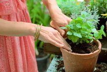plante aromathique