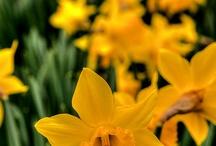 Voorjaar / Allerlei bollen