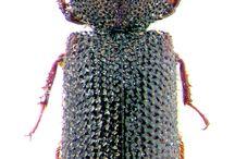 bostrichidae